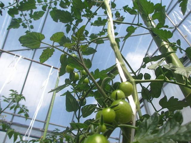 20130629トマト大きく育ってます (11)