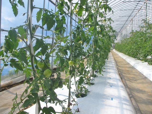 20130629トマト大きく育ってます (8)