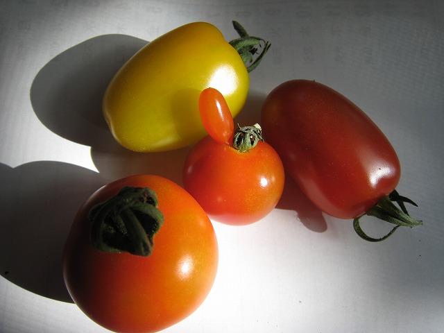 20130703焼津だよりトマト