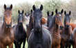 stock-photo-19996273-horses-looking-at-camera.jpg