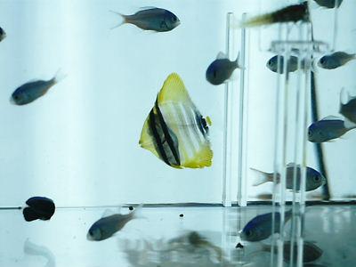 透明なヒレナガハギ&デバスズメ