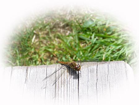 蜻蛉も隣へ・・・