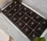 チョコラブジンジャー
