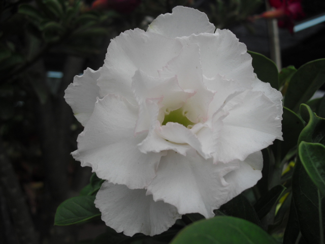 d.rose2
