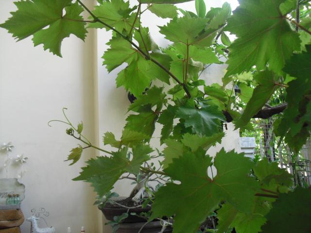 葡萄の木2