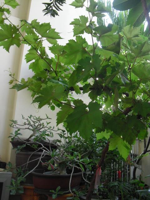 葡萄の木1