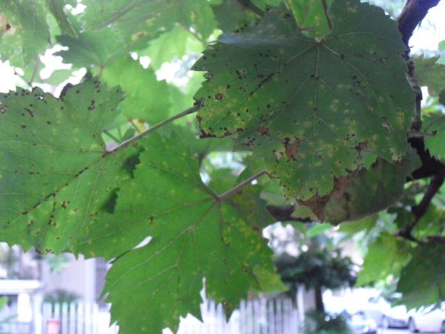 ぶどうの葉