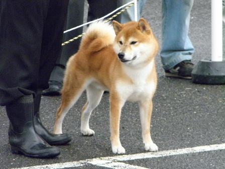 H24秋季淡路支部展 成犬雄A1阿州野鉄雪号