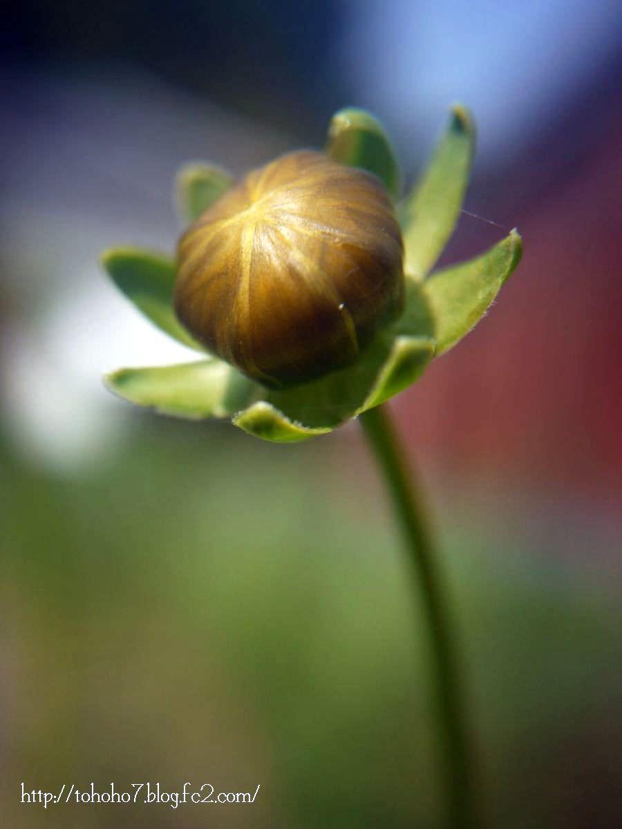 金鶏菊のつぼみ
