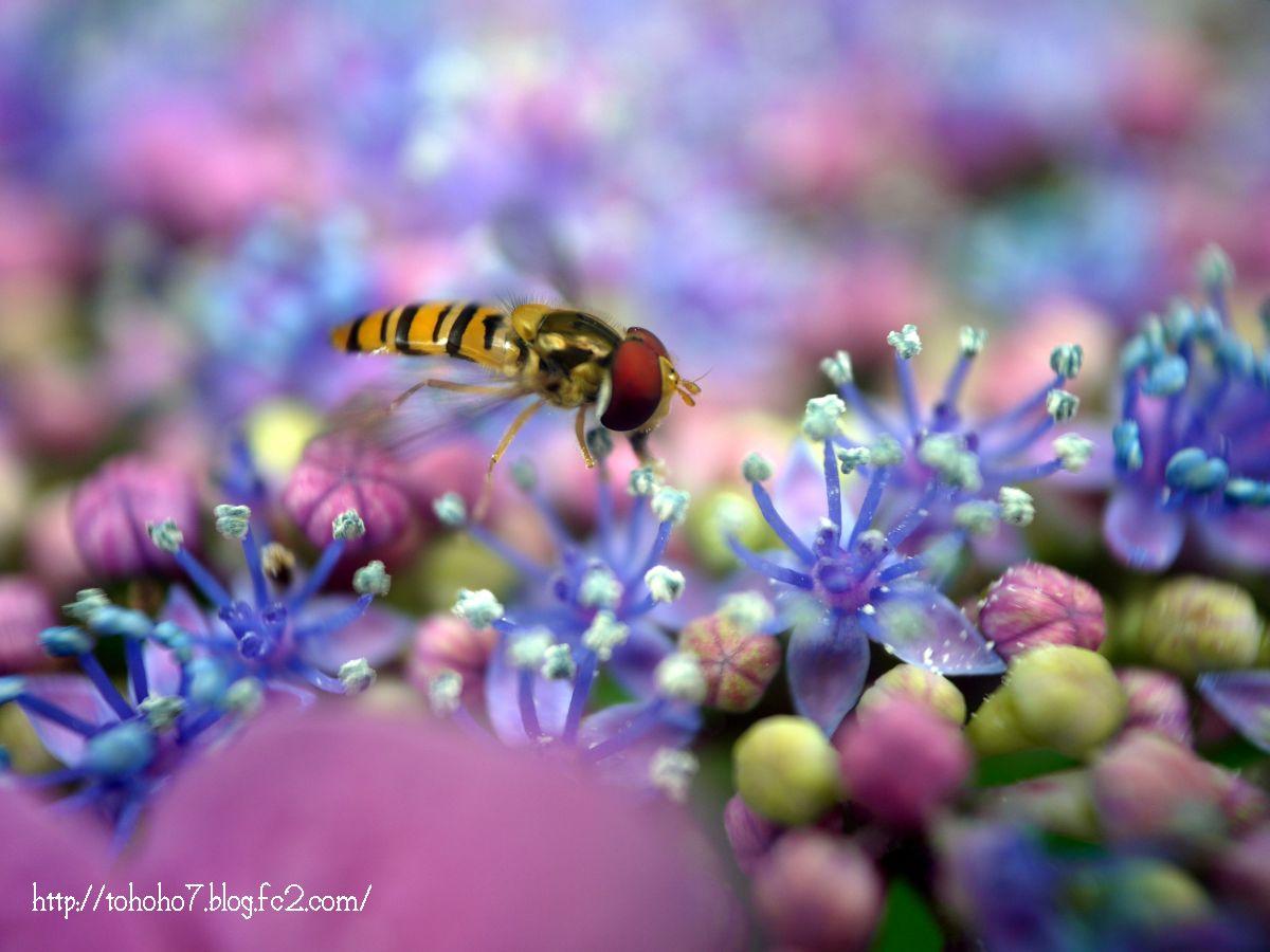 紫陽花の花粉を食べるホソヒラタアブ
