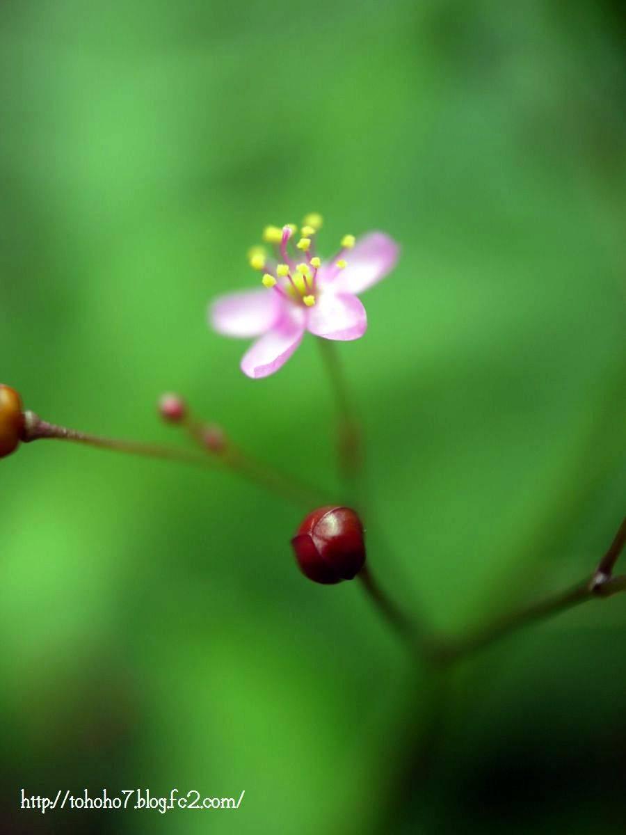 ハゼランの花