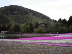 芝桜・08