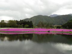 芝桜・11