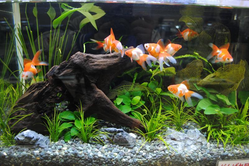2012日本鑑賞魚フェア金魚水槽