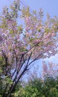 2012年 八重桜