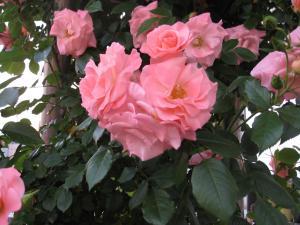 ピンクのバラバラ