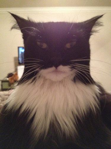 バットマンに似た猫