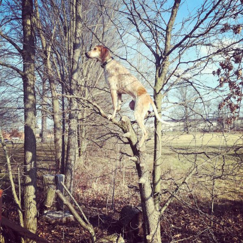 クーンハウンド犬3
