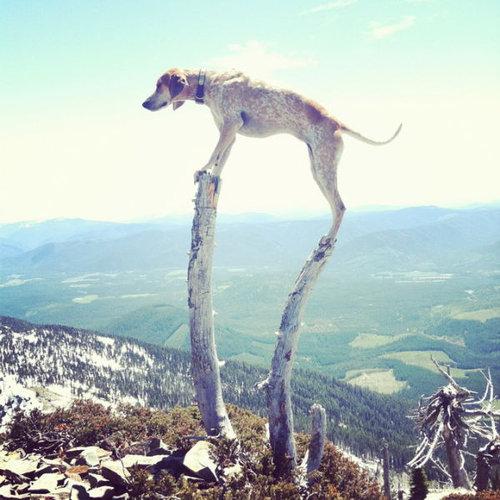 クーンハウンド犬4