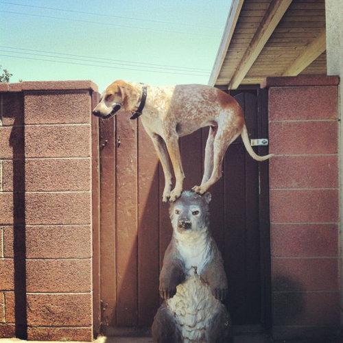 クーンハウンド犬5