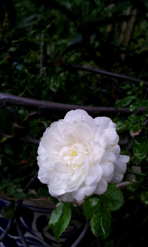 20120722minibara.jpg