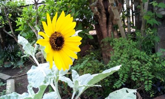 20120906himawari.jpg