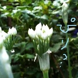 20120906nira2.jpg