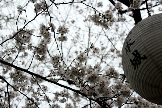20130320sakura10.jpg