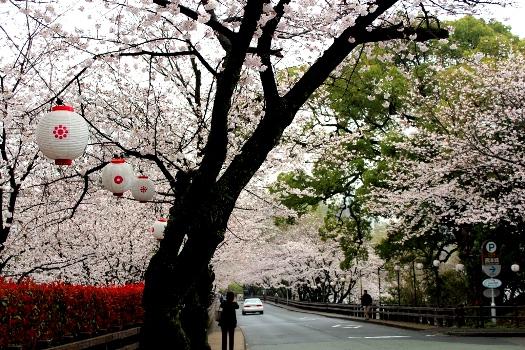 20130320sakura11.jpg