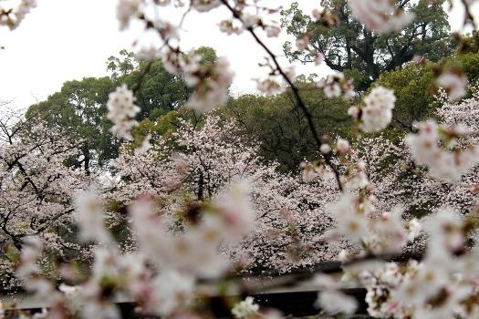 20130320sakura2.jpg