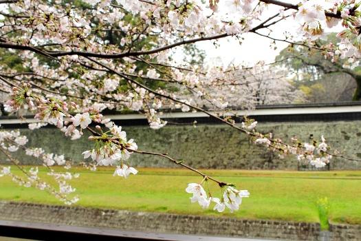 20130320sakura4.jpg