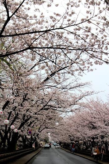 20130320sakura9.jpg