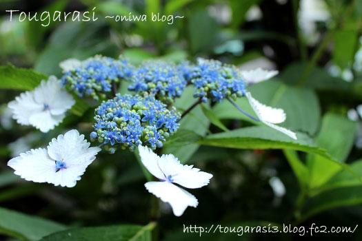 20130601azisai5-2.jpg