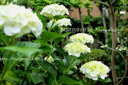 20130601azisai6-2.jpg