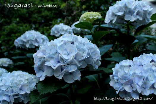 20130611azisai-2.jpg