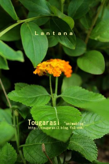 b20130706lantana2