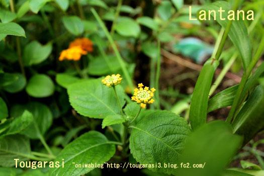 b20130706lantana.jpg