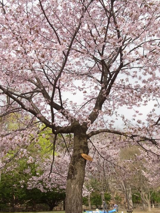 円山お花見12