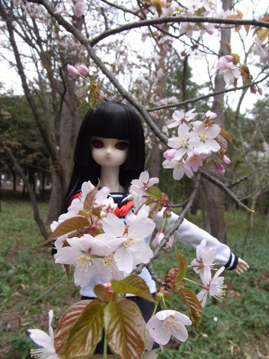 円山お花見02