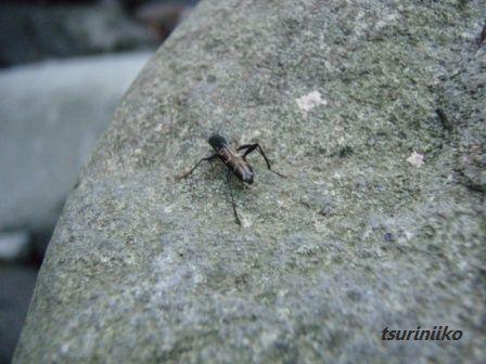 ハンピーな甲虫