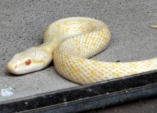 白蛇様です