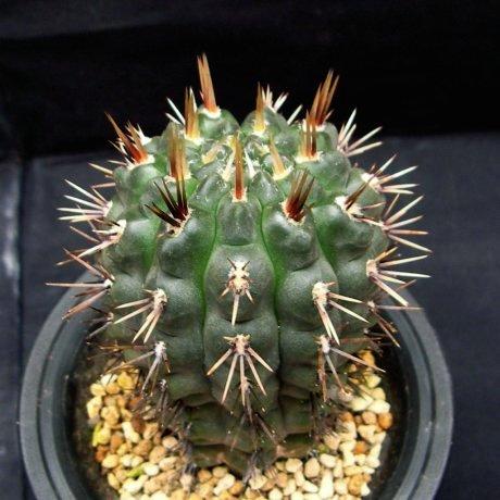 120422--Sany0096--gibbosum v fenellii--P 95--Succseed seed
