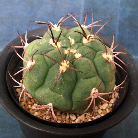 120706--Sany0191--pflanzii ssp argentinense--GN 88-62-147--La Vina  Salta 1000m--ex Milena