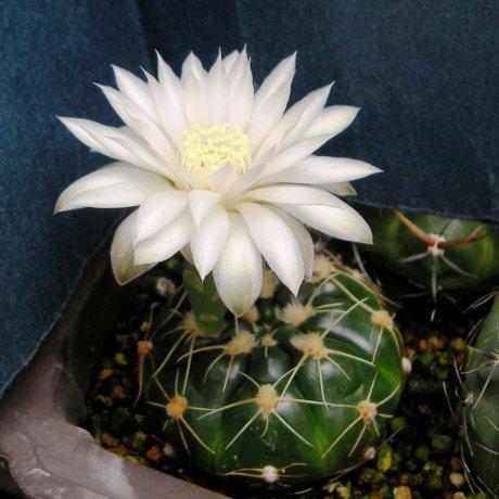 120618--Sany0084--denudatum ssp angulatum--GF 304--Dom Pedrito R G de Sul--Piltz seed 3423