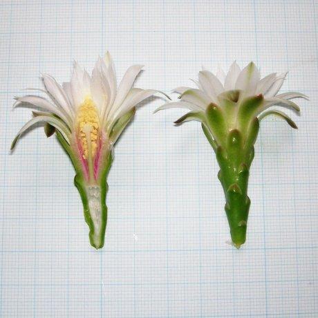 120620--Sany0094--denudatum ssp angulatum--GF 304--Piltz seed 3423