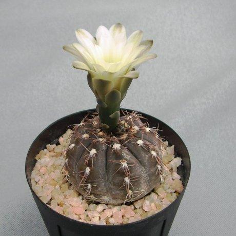 G. taningaense--STO 489-002--N of Salsacate Cordoba--Eden 13988