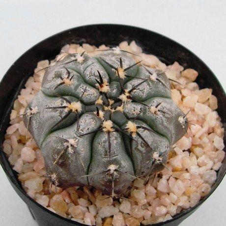 120712--Sany0010--berchtii--VS 161--Las Chanares, San Luis, Arg. --Koehres seed--ex Kousen en