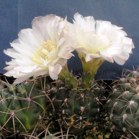 120524--Sany0211--gibbosum v caespitosum--JPR 17-45--piltz seed 5037