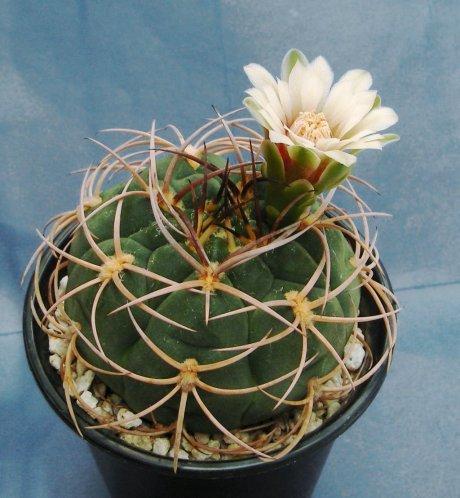 090601-Sany0141-catamarcense ssp schmidianum-LB1308-Mesa460 89