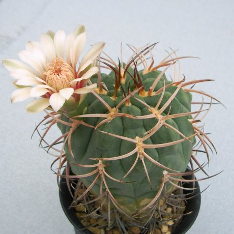 120518--Sany0177--catamarcense ssp schmidianum--LB 1308--Mesa seed 460.89--Kousenen
